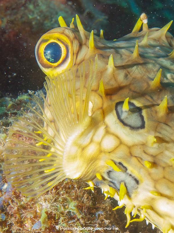 poisson porc-épic Saba