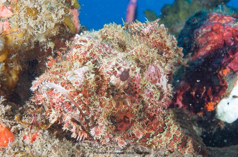 poisson-scorpion Saba