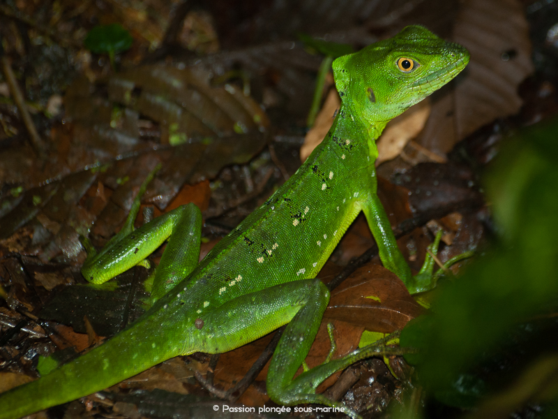 Basilic vert_Basiliscus plumifrons