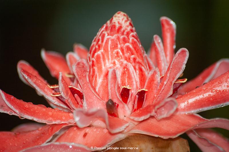 Rose de porcelaine Costa Rica