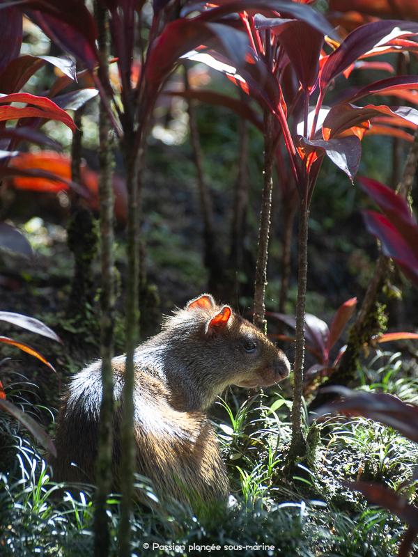 agouti Costa Rica