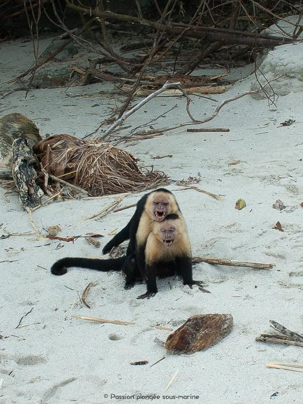 singes capucins à tête blanche