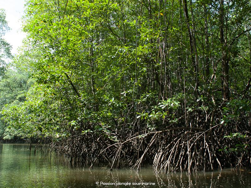 mangrove rio Sierpe Costa Rica