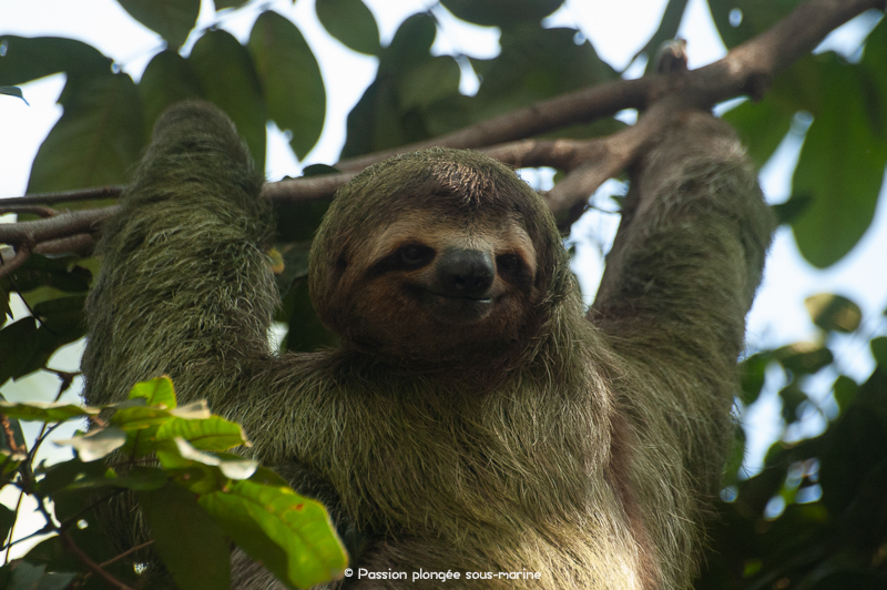 paresseux à gorge brune Costa Rica