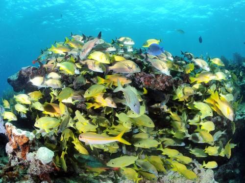 Lutjans sur Alligator Reef