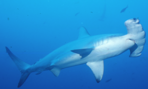 requin-marteau.png