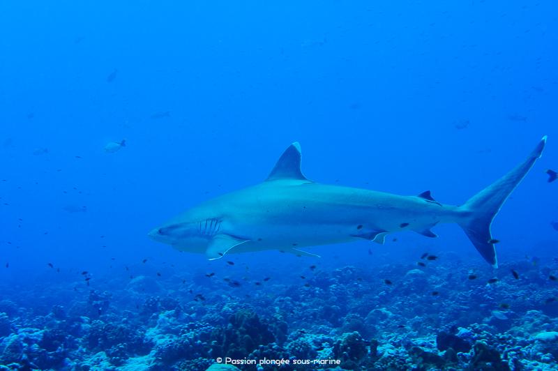 Carcharhinus albimarginatus Rangiroa