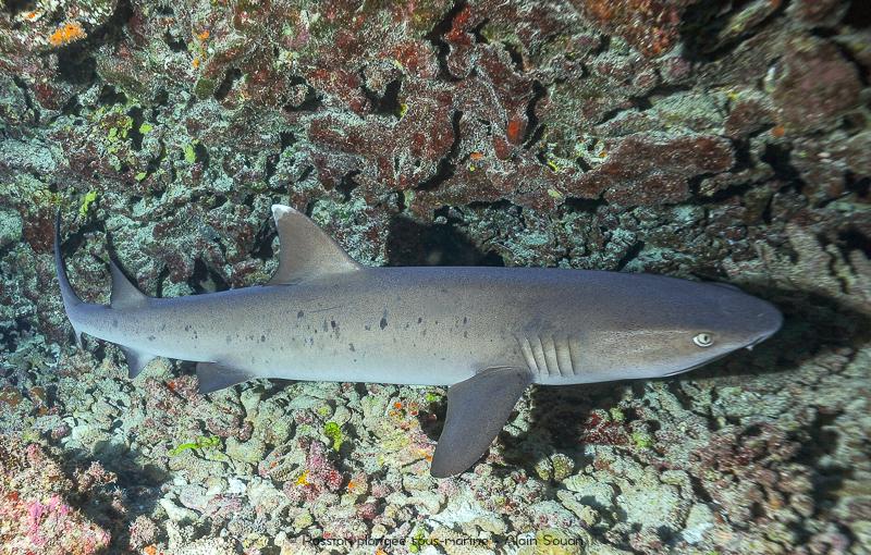 Requin-corail Tikehau