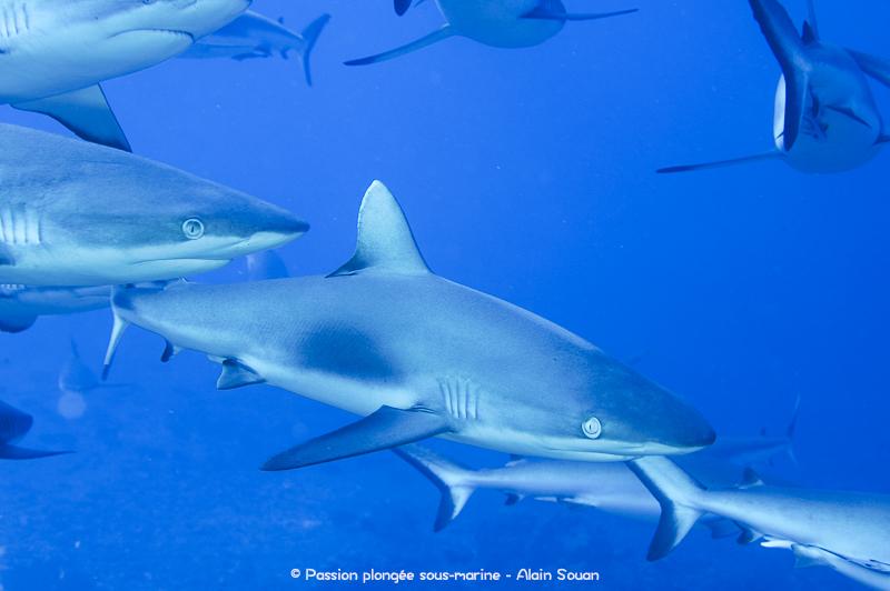 Requins gris Tahiti Polynésie