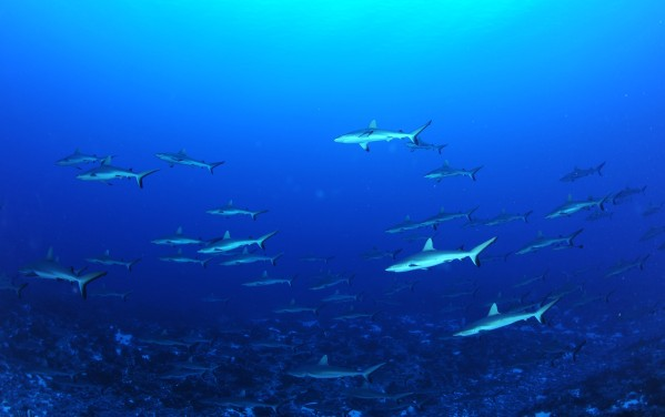 Faka Banc requins gris 1