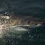 Grand requin blanc à False Bay en Afrique du Sud