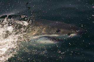 Plongée avec les requins plat-nez de False Bay en Afrique du Sud