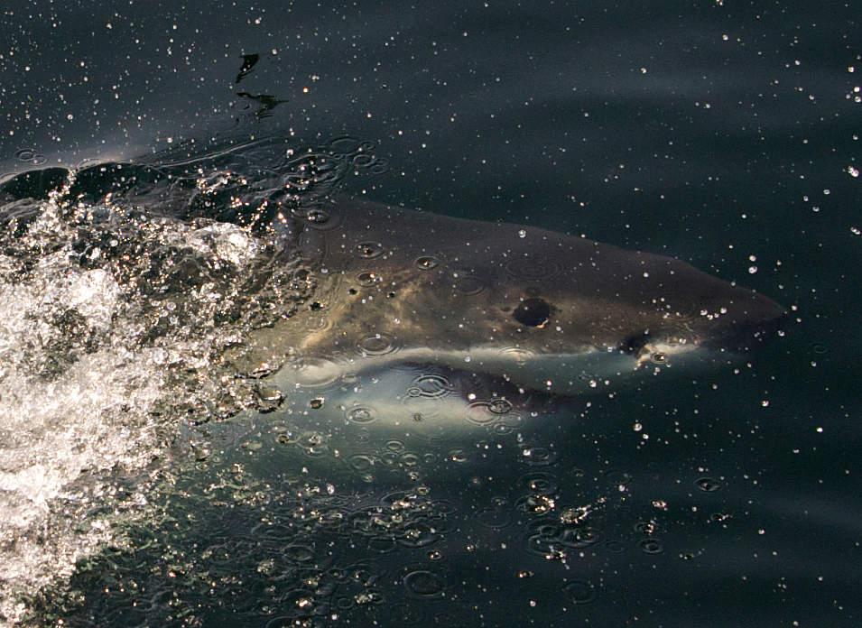 Un grand requin blanc au large de Seal Island en Afrique du Sud. Photo SLS.