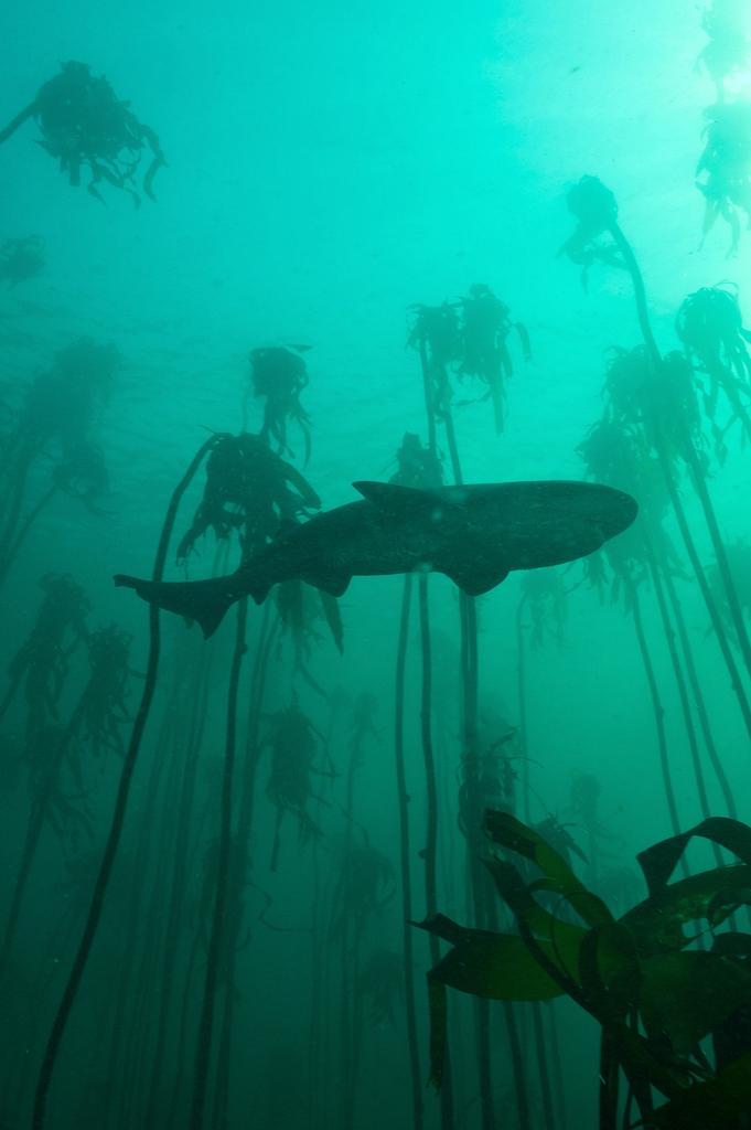 Plongée avec les requins plat-nez (Sevengill sharks) et les otaries de False Bay. Photos A. Souan.