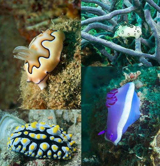 Une très grande variété de nudibranches. Photos Alain Souan