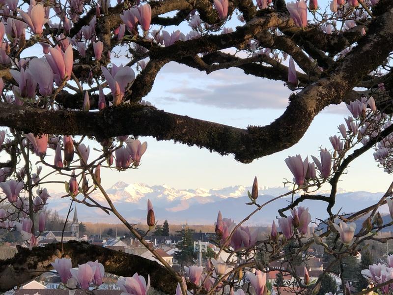 Vue sur les Pyrénées entre les branches d'un magnolia depuis le boulevard des Pyrénées, Pau.